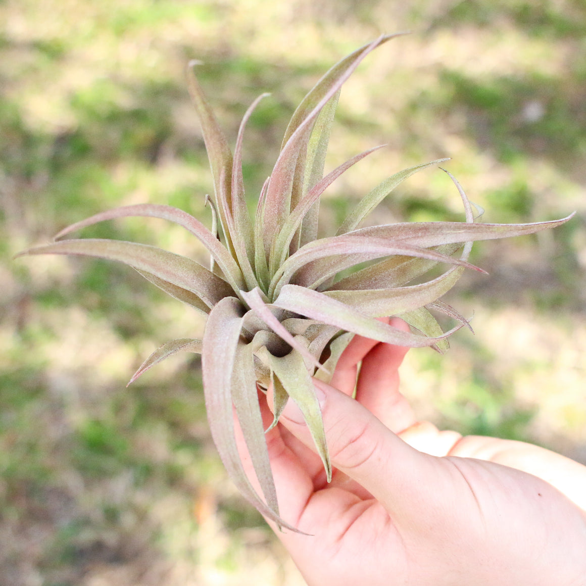 SALE - Large 'Capitata Peach' - Set of  5, 10, or 20 Air Plants - 50% Off