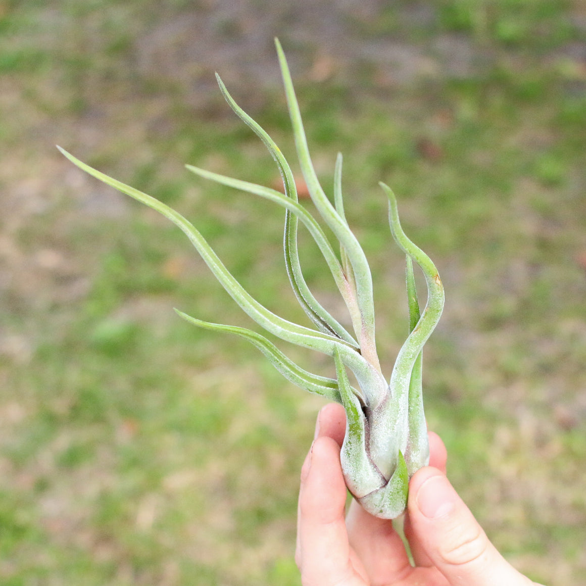 SALE - Tillandsia Caput Medusae - Set of 10 or 20 Air Plants - 70% Off