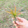 SALE - Large Tillandsia Flabellata Air Plants / 5-9 Inch Plants - Set of 5 or 10 - 50% Off
