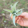 SALE - Tillandsia Harrisii Air Plants - Set of 10, 15, or 20 Plants - 60% Off