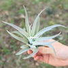 Large Harrisii Air Plants / 5-7 Inch Plants