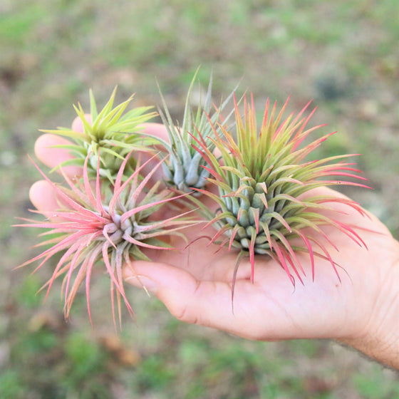 SALE - Ionantha Super Packs - 70% Off 20, 30 or 50 Air Plants