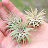 SALE - Mini Air Plant Pups - Sets of 5, 10 or 15 Plants - 40% Off