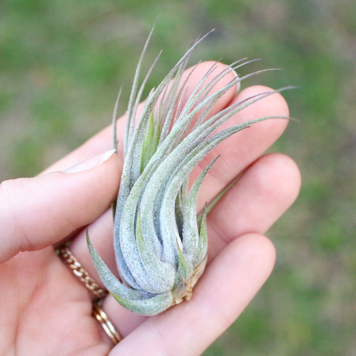 Wholesale - Tilandsia Ionantha Scaposa Air Plants