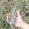 Wholesale Special Air Plants - Large Tillandsia Juncea Air Plants / 8-12 Inch Plants