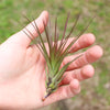 SALE - Large Melanocrater Tricolor - Set of 10, 20 or 30 Air Plants - 70% Off