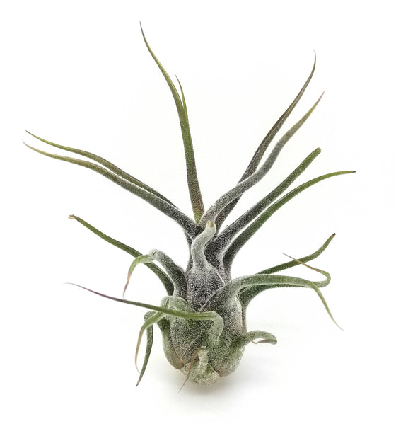 Pruinosa Colombia Air Plants