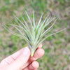 Tenuifolia Air Plants