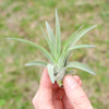 SALE -  Large Tillandsia Velutina Air Plants - 50% Off Sets of 5 or 10