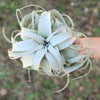 Large Tillandsia Xerographica - 6 to 8 Inches Wide
