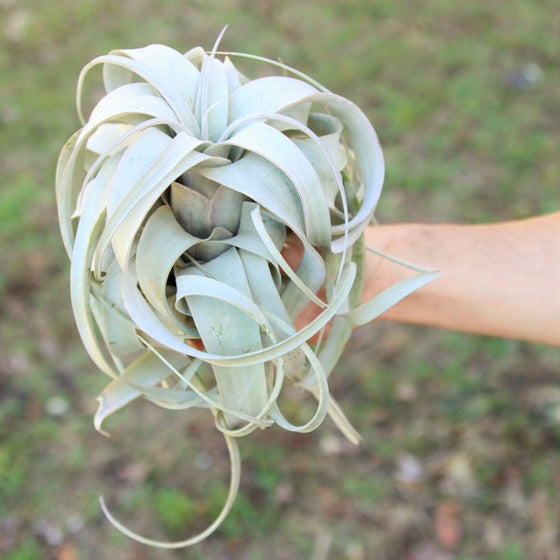 Medium Xerographica Air Plant - 5 to 6 Inches Wide