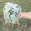 Wholesale - Medium Tillandsia Xerographica / 5-6 Inch Plants