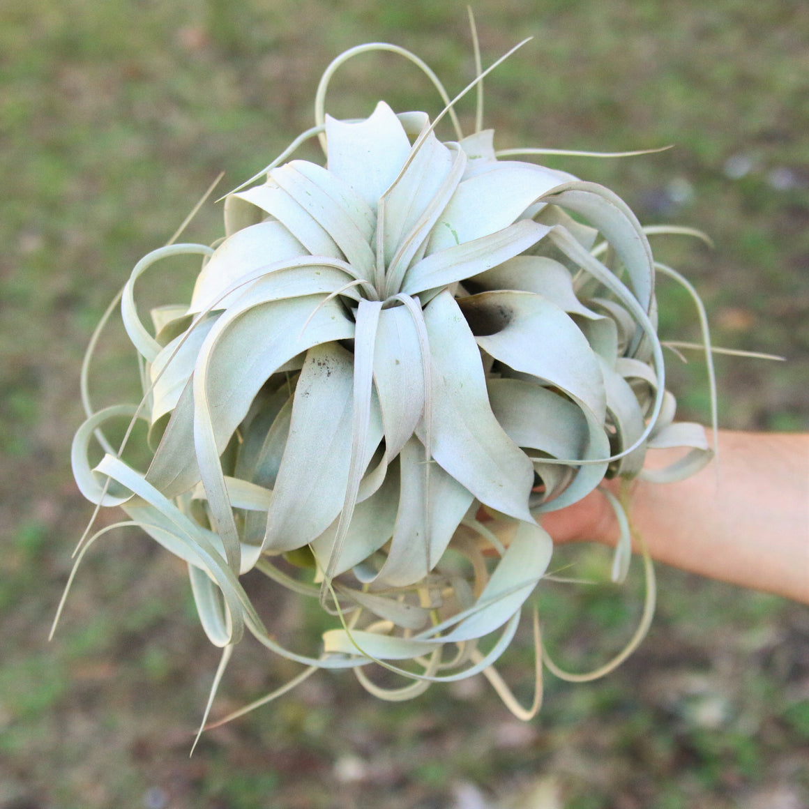 Large Tillandsia Xerographica / 6-8 Inches Wide