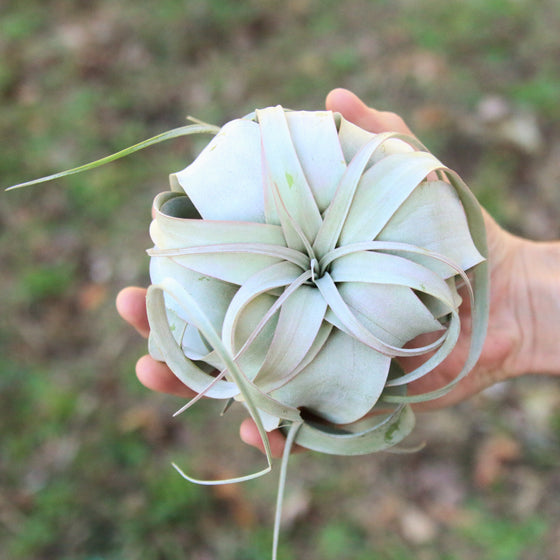 SALE - Xerographica Mini - Set of 5 or 10 Plants - 4 to 5 Inches Wide - 40% Off
