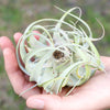 Xerographica Seedling - 2 to 3 Inches Wide - Help Support Sustainable Farming