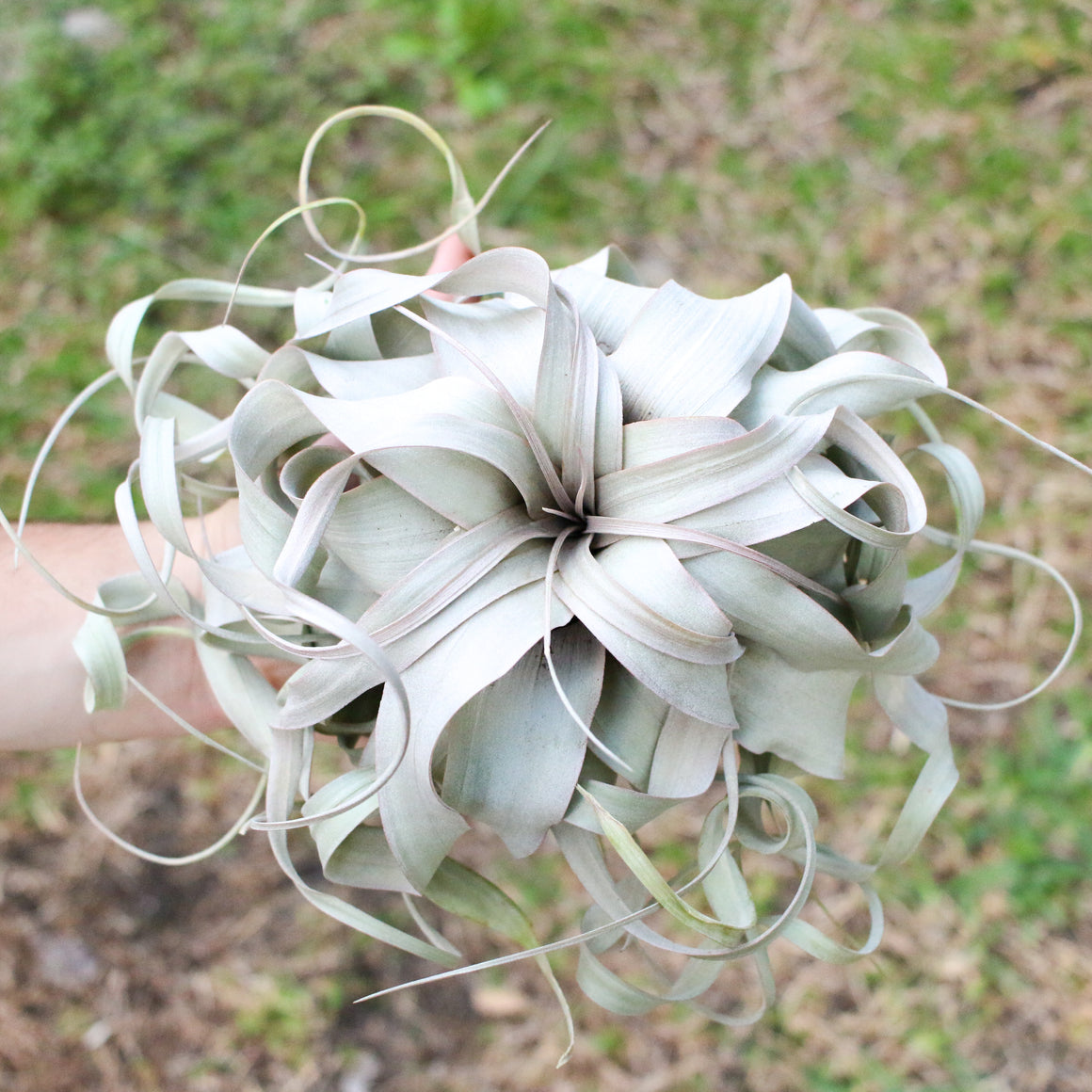 Jumbo Curly Tillandsia Xerographica - Limited Quantities - 6 - 8 Inches Wide with Cascading Leaves