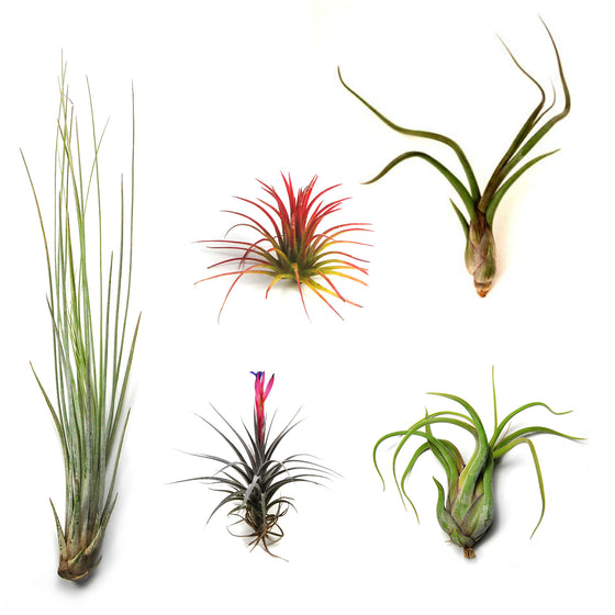 SALE - The Yucatan Collection - Set of 10 or 20 Air Plants - 50% Off