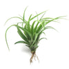 Large Green Abdita Brachycaulos Air Plants / 5-8 Inch Plants