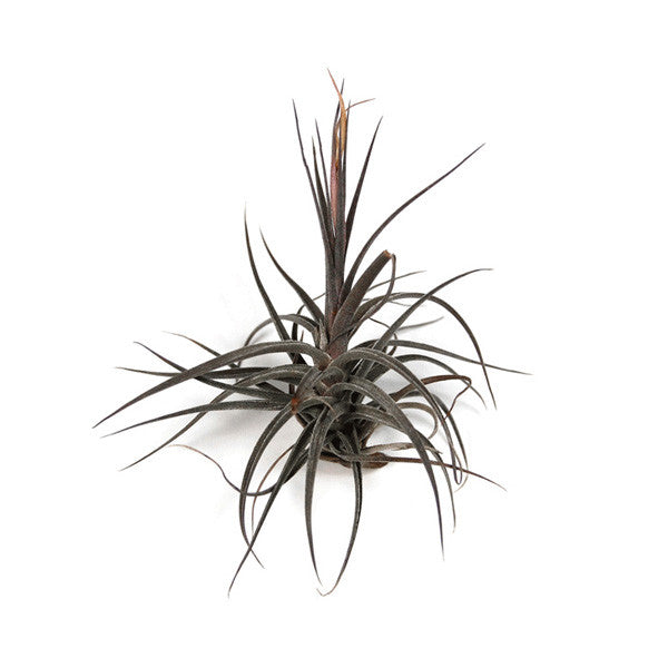 sale the yucatan collection set of 10 or 20 air plants 50 House Plants For Sale sale the yucatan collection set of 10 or 20 air plants 50% off house plants for sale