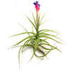 "Wholesale - Tillandsia Aeranthos - Clavel del Aire - ""Carnation of the Air"" Air Plants"
