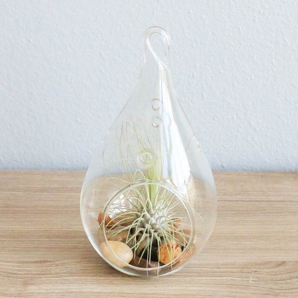 Wholesale Teardrop Terrarium with Argentea Thin Air Plant & Riverstones