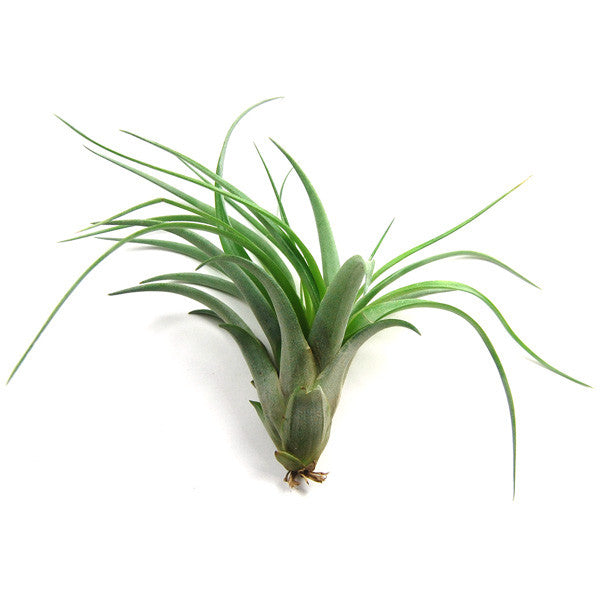 Wholesale tillandsia green abdita air plants air plant for Cheap air plants
