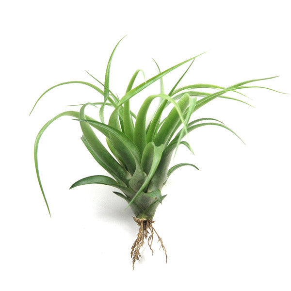 Wholesale - Large Tillandsia Abdita Air Plants / 5-8 Inch Plants