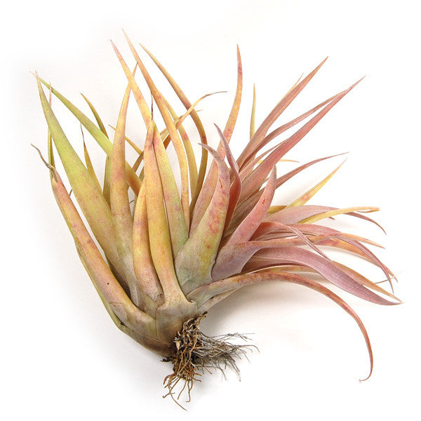 Wholesale - Large Tillandsia Capitata Peach Air Plants / 5-7 Inch Plants
