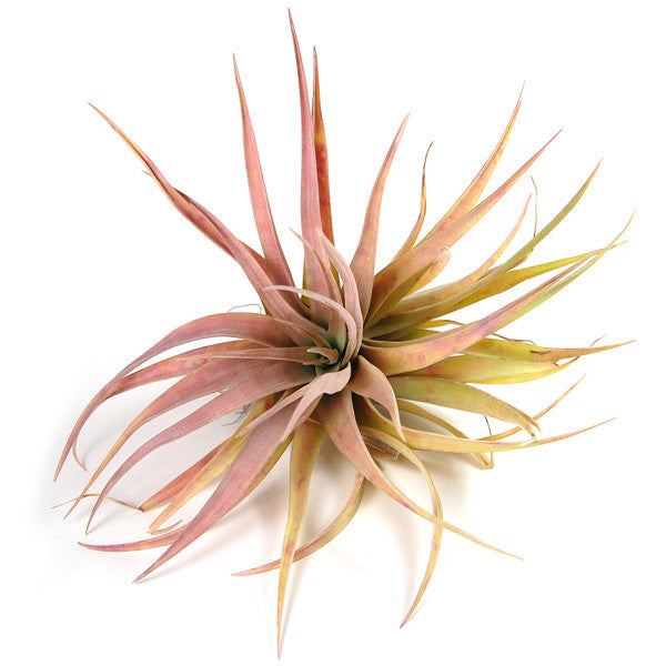 SALE - Large 'Capitata Peach' - Set of  10, 15, or 20 Air Plants - 40% Off