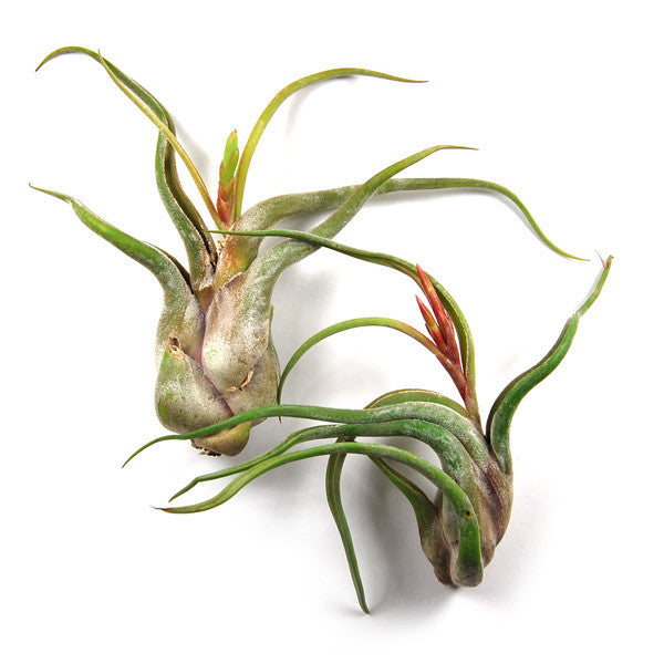 In Bud Now - Large Caput Medusae Air Plants / 6-8 Inch Plants