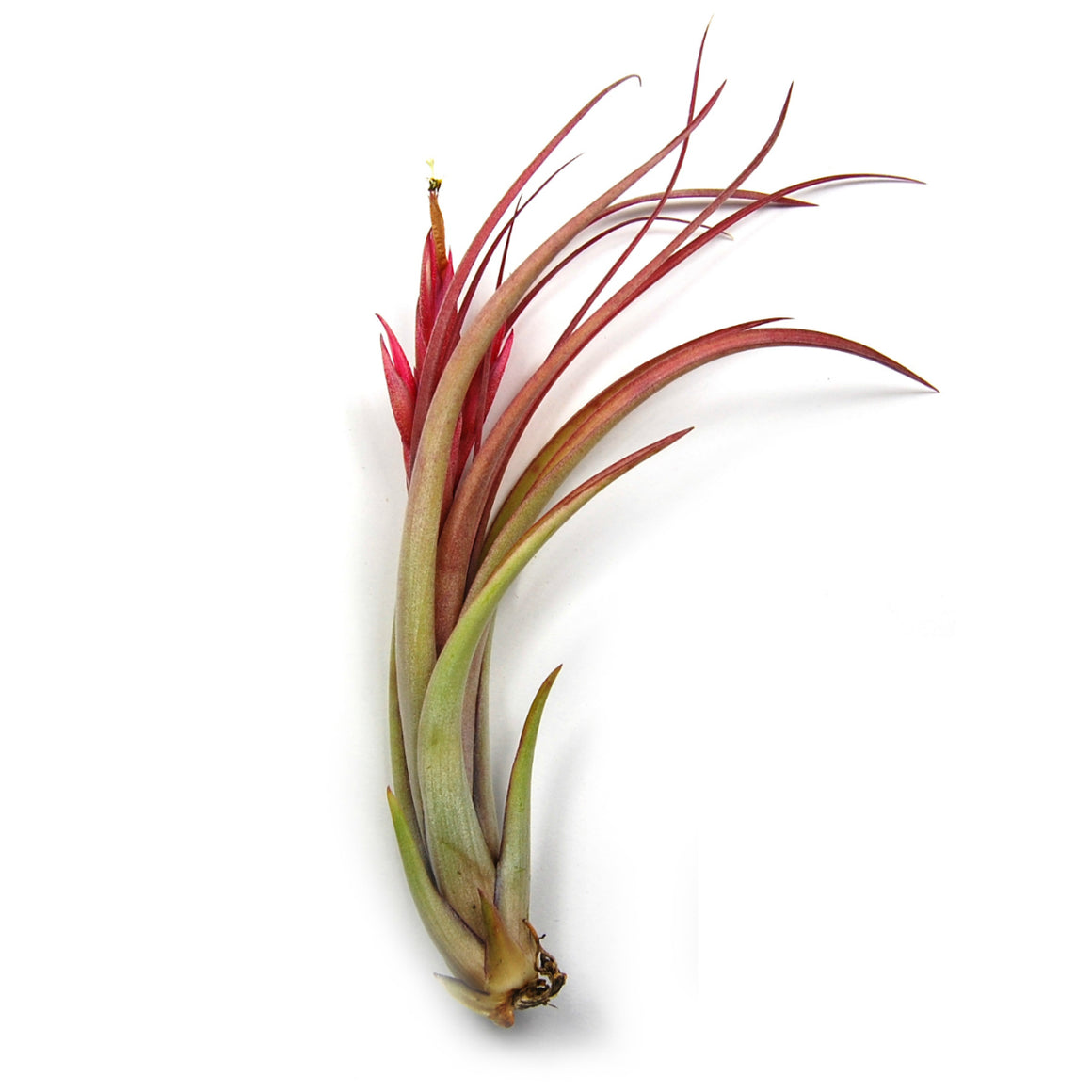 SALE - Circinata 'Paucifolia' Air Plants - Set of 10, 20, or 30 Air Plants - 60% Off