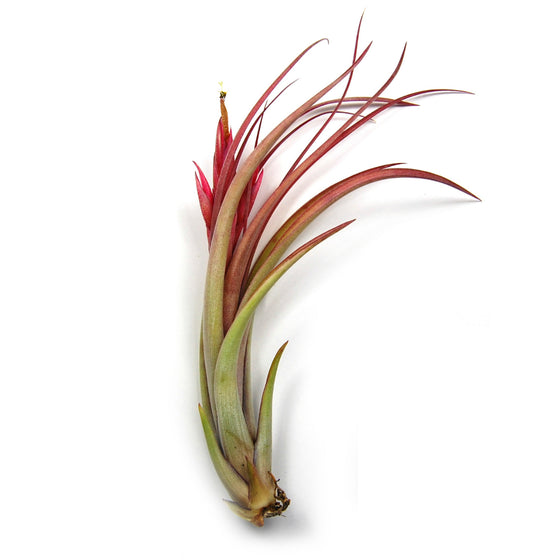 Large Circinata Air Plants / 6-8 Inch Plants