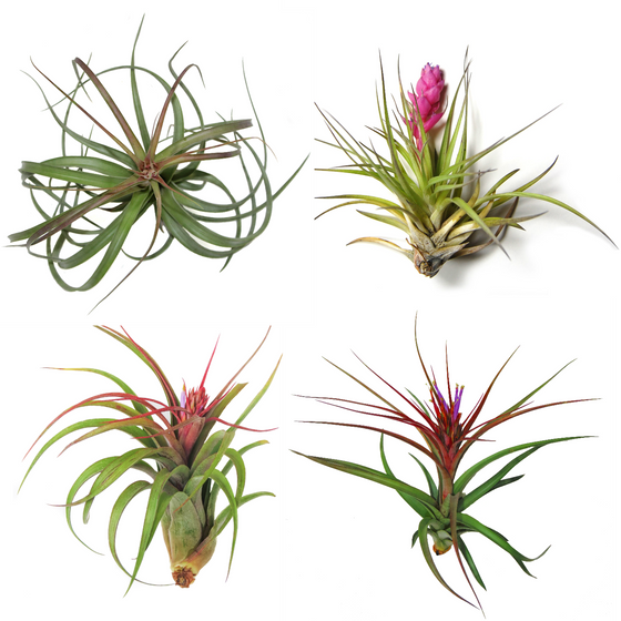 SALE - Collector's Choice Collection of Air Plants - 40% Off + Free Shipping