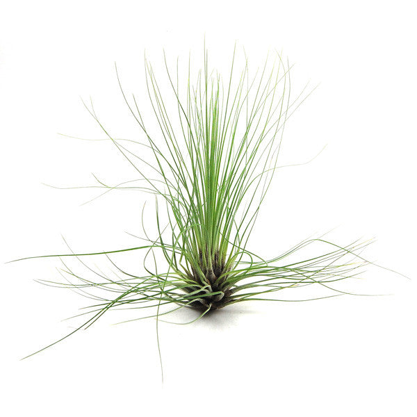 Wholesale - Tillandsia Filifolia Air Plants