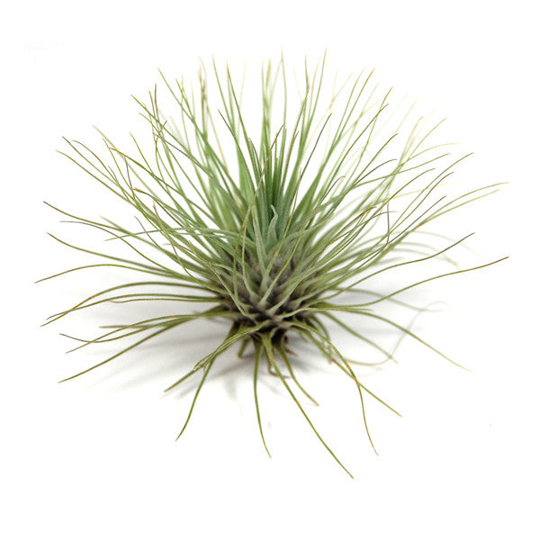 In Bud Now - Argentea Thin Air Plants