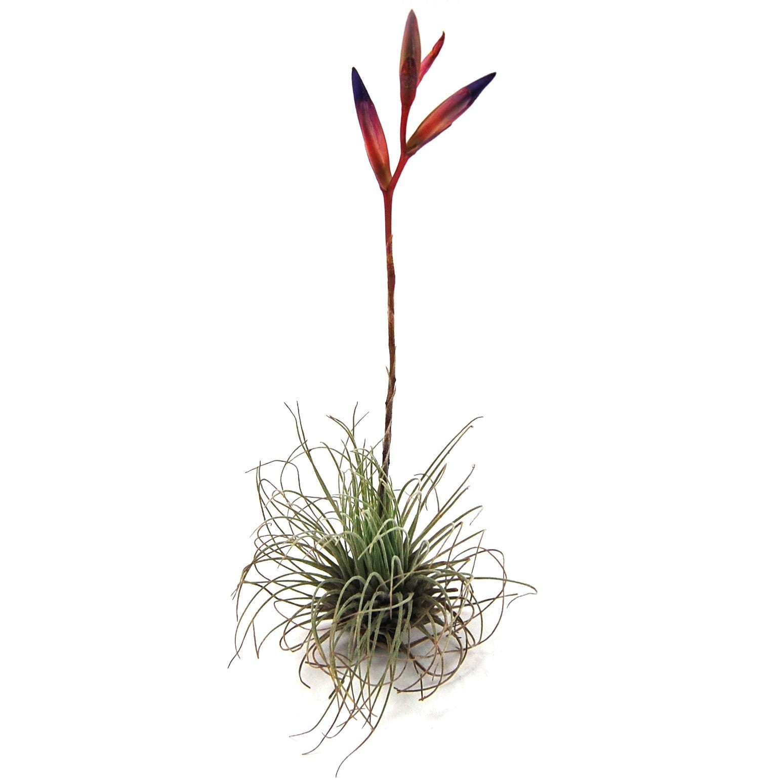 Wholesale tillandsia argentea thin air plants air for Cheap air plants