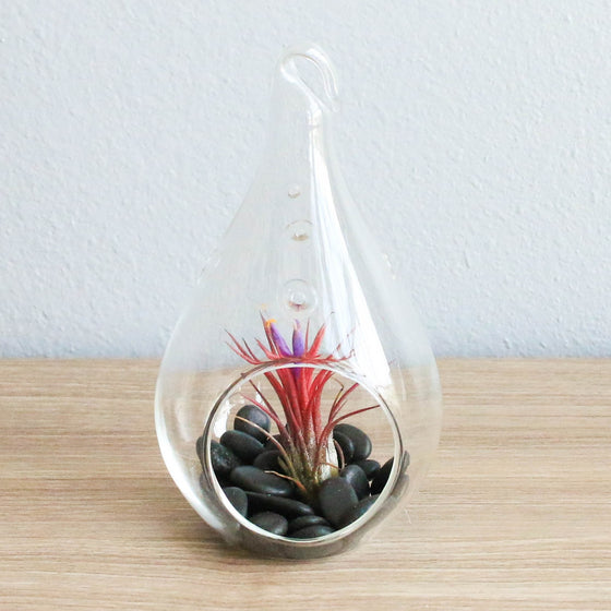 Red Hot Teardrop Terrarium with Ionantha Fuego & Black Stones