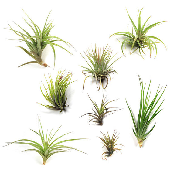 SALE - Air Plants in need of Tender Loving Care - 3 Packs - Save up to 50%