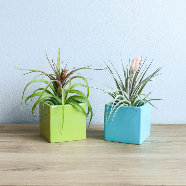 Set of 2 Geometric Containers with Custom Tillandsia Air Plants / Avocado Green + Sky Blue