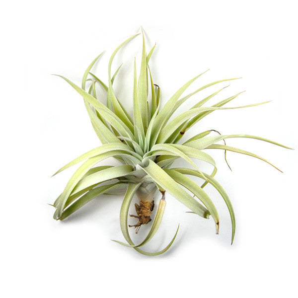 Wholesale Large Harrisii Air Plants / 4-7 Inch Plants