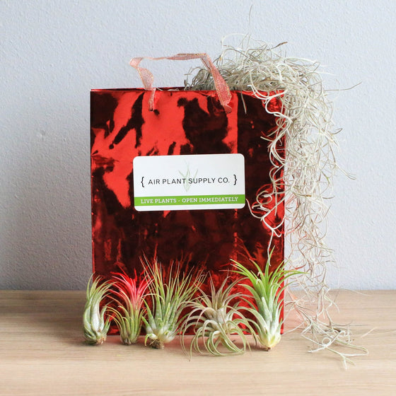 Holiday Gift Wrapped Ionantha Collection of 5 Air Plants on Bed of Spanish Moss
