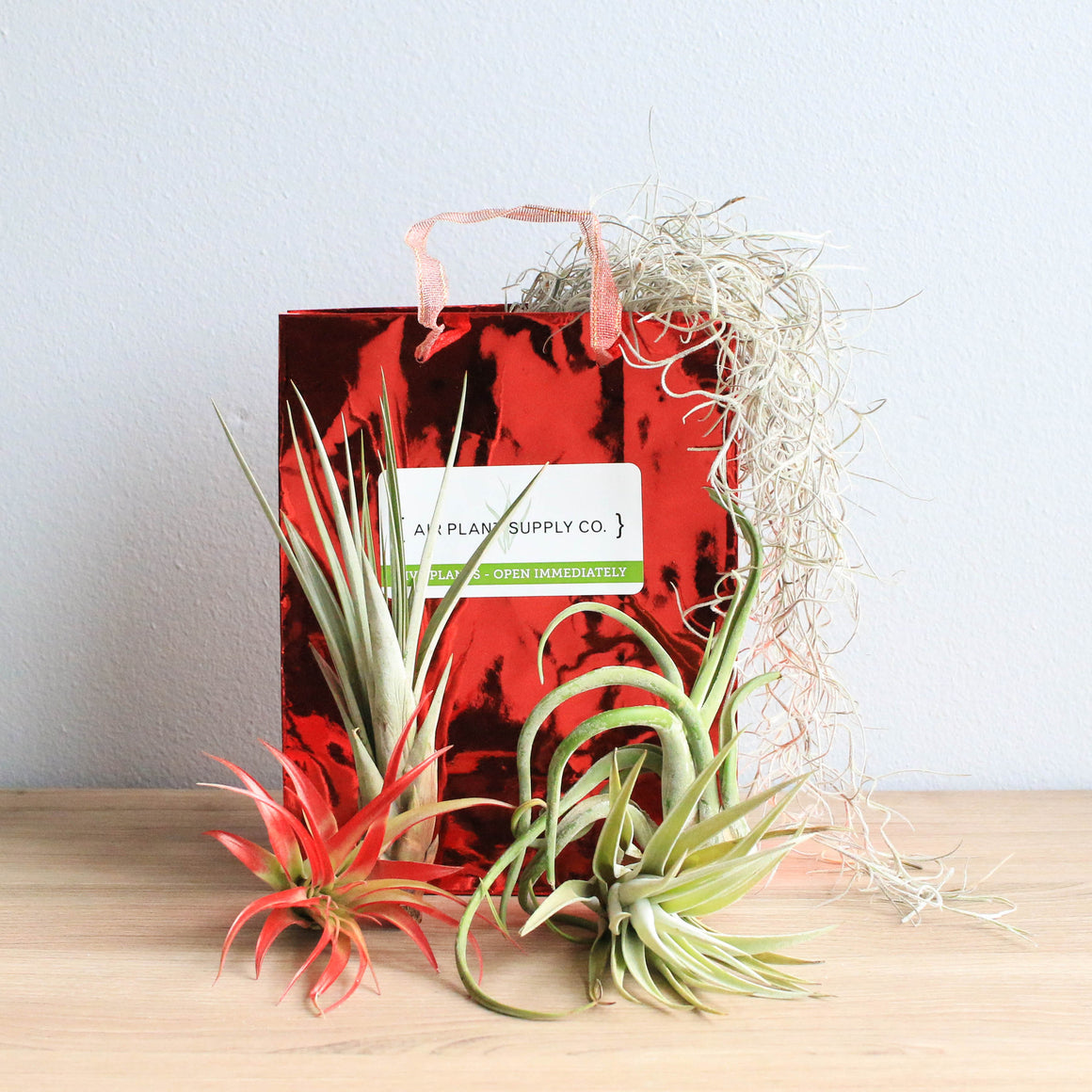 Holiday Gift Wrapped Red Abdita, Fasiculata, Harisii, and Caput Medusae  Air Plants on Bed of Spanish Moss