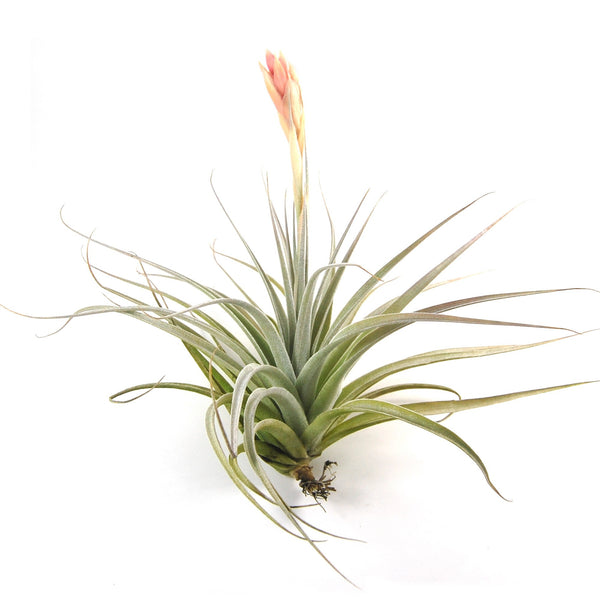 large air plants air plant supply co. Black Bedroom Furniture Sets. Home Design Ideas