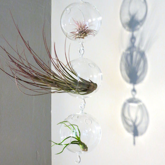 Terrarium Trio with Double Hooks and Juncea, Bulbosa, & Ionantha Air Plants