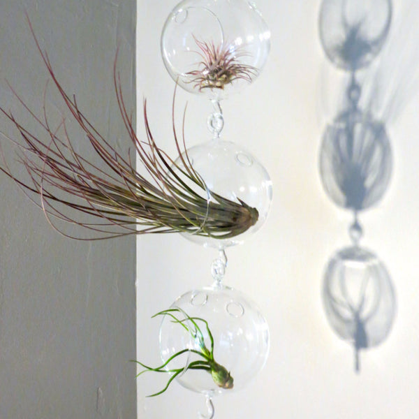 Wholesale - Terrariums with Double Hooks and Air Plants
