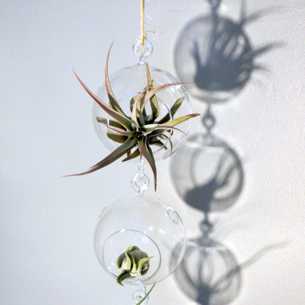 Terrarium Trio with Double Hooks and Harisii, Caput Medusae, & Baileyi Air Plants