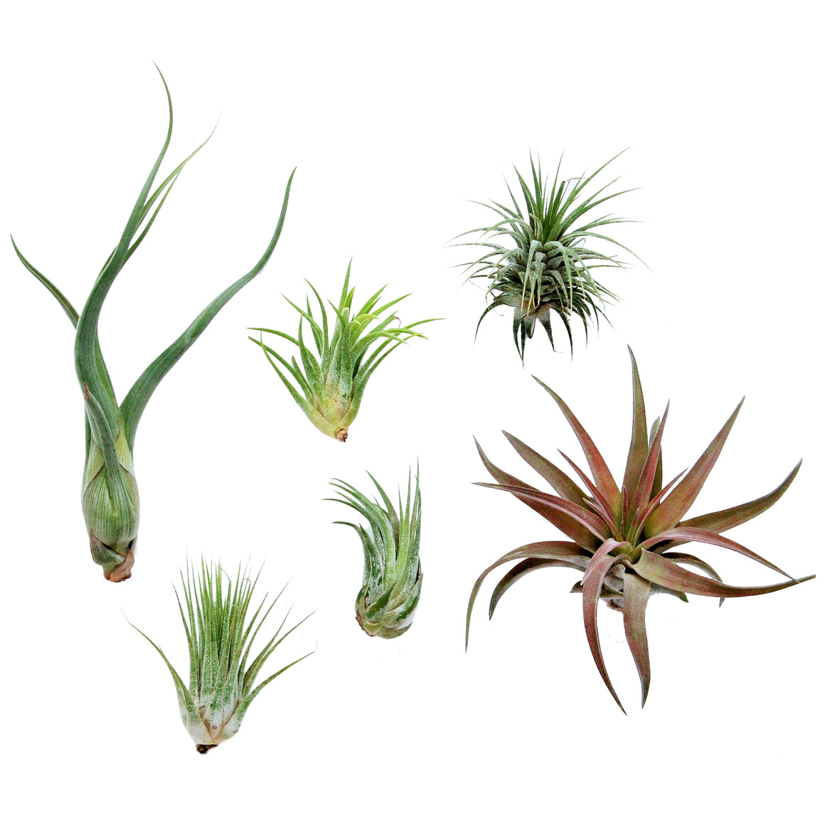 Air Plant Grab Bag - 6 Small Plants