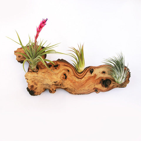 African Mopani Wood with 3 Large Air Plants & Waterproof Glue - 10 to 14 Inches Long