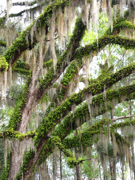 Large Spanish Moss (Usneoides) / 1.5-2 Foot Long Strands