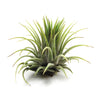 SALE - Ionantha Rubra - Set of 10 or 20 Air Plants - 60% Off